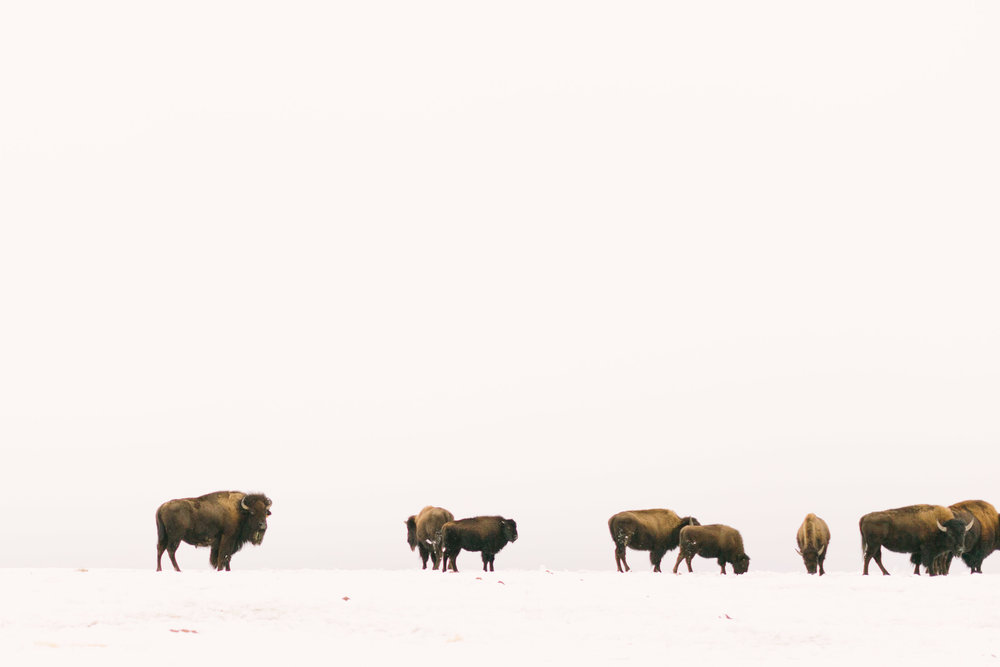 Chelsea Macor Photography Nature Photography Print of Buffalo in Snow-1.jpg