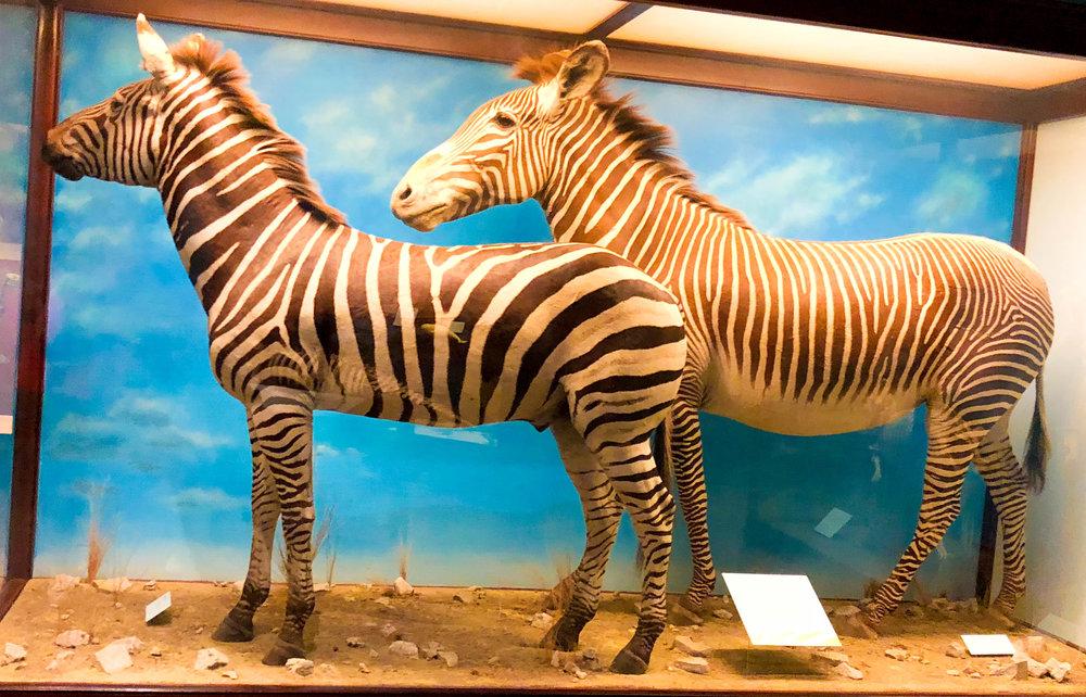 fields museum zebra.jpg