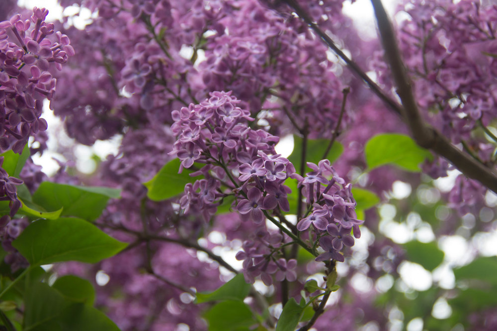 Lady Lilac in particular, sweeps the floor with her undeniably unique fragrance. Each nearly imperceptible blossom imparts its own sweetness and when singled out, is an astounding reminder of natures meticulously perfect craftsmanship. En masse, the Lilac is a textural wonder of delicate movement, stirred by each story brought forth by the breeze.