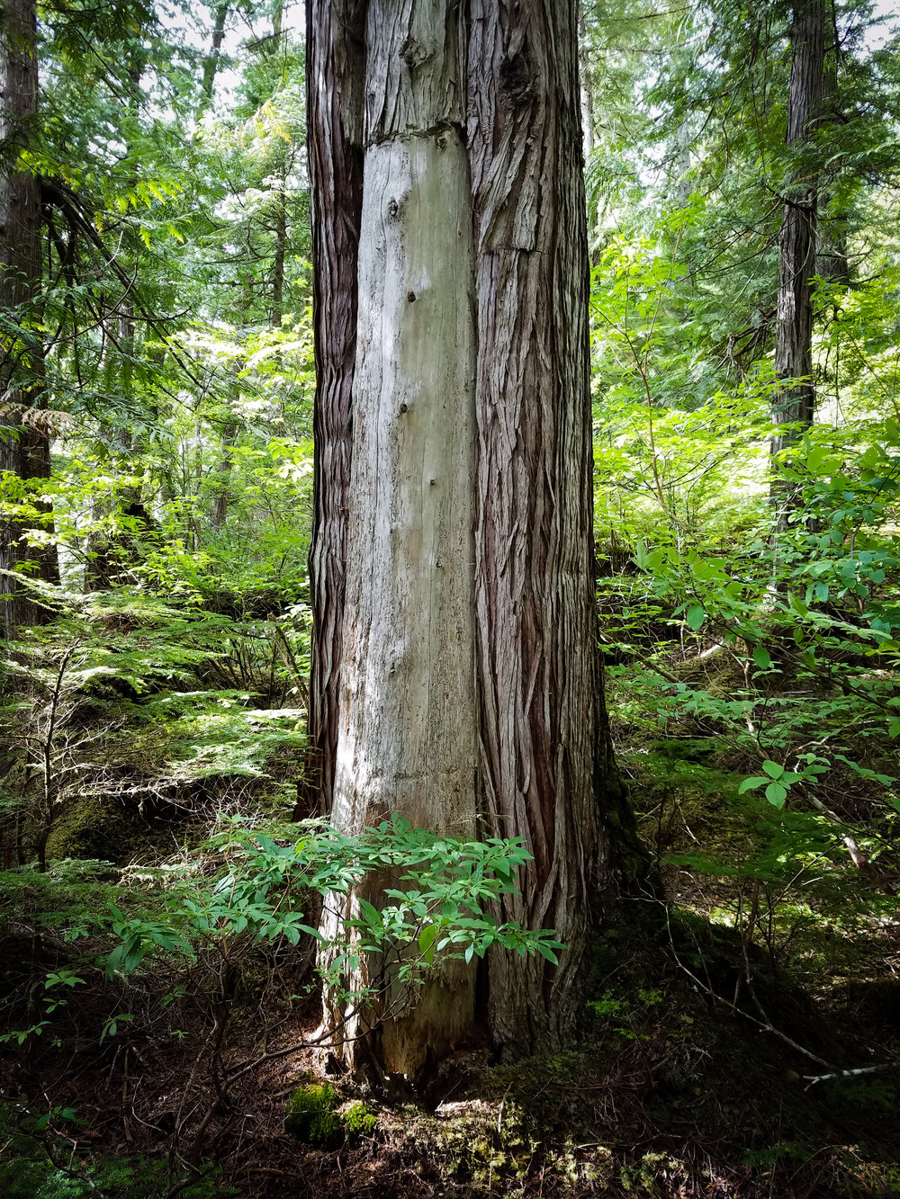 Living cedar tree, once stripped for bark.