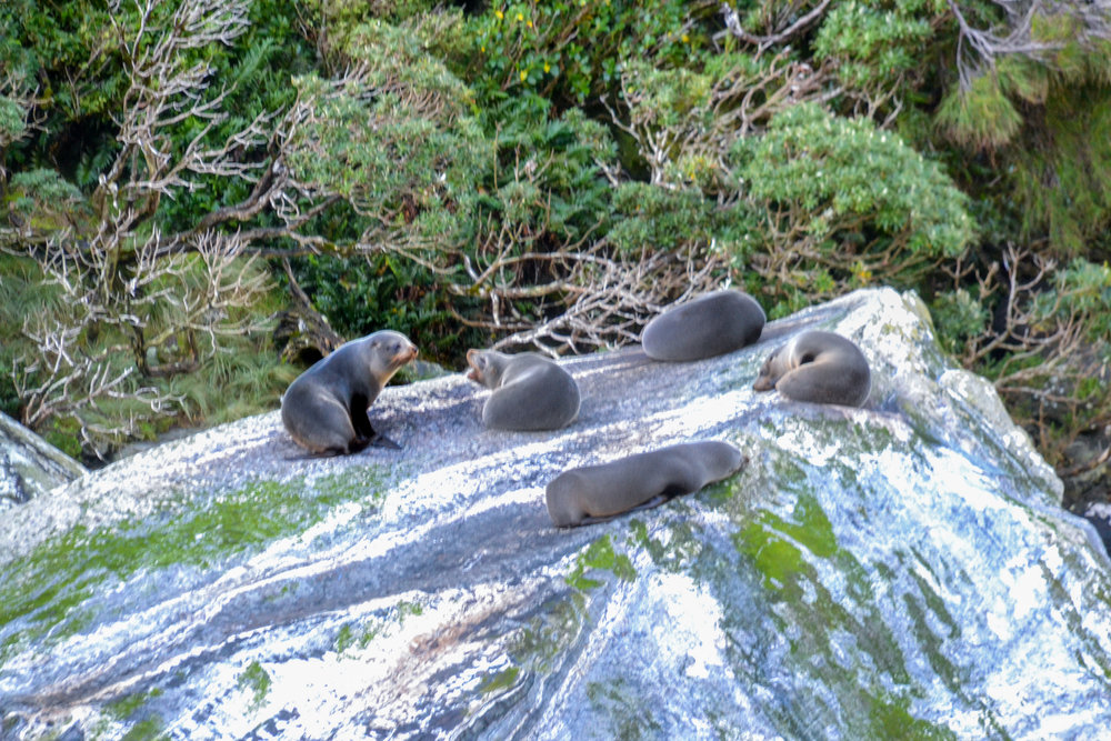 Seals colony in Milford Sound New Zealand