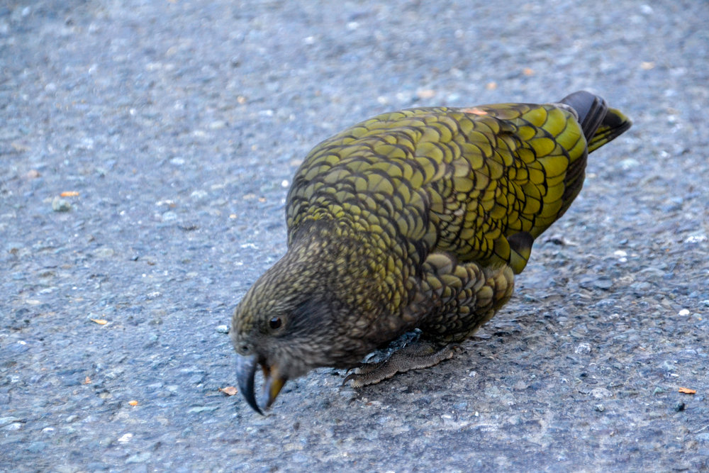 Famous Kea parrot down the Fiordland New Zealand