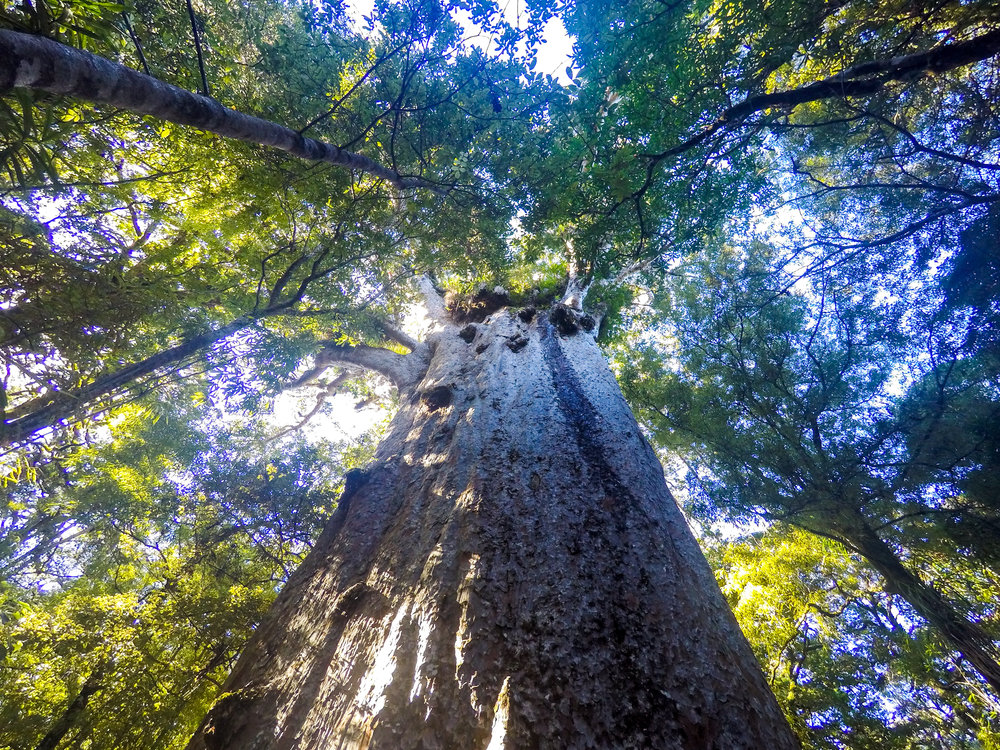 Kauri Tree Forest, the tallest, biggest and oldest tree in New Zealand
