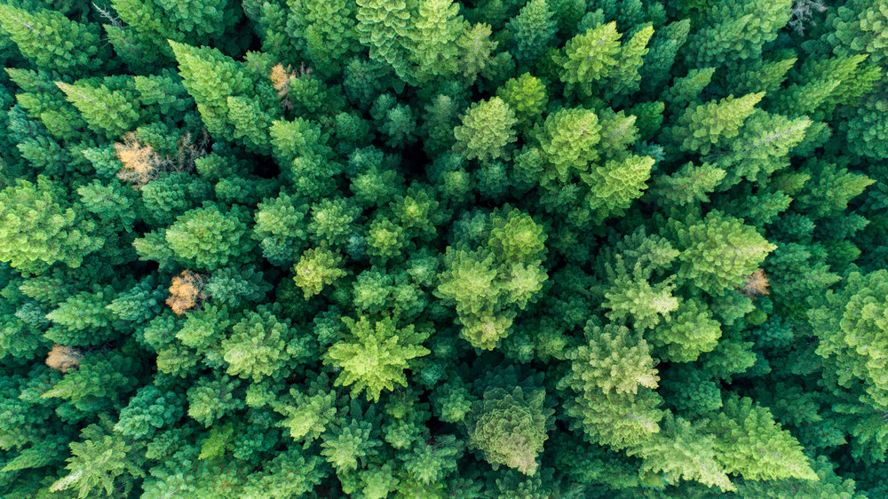 Redwoods Forest in Rotorua New Zealand from the drone
