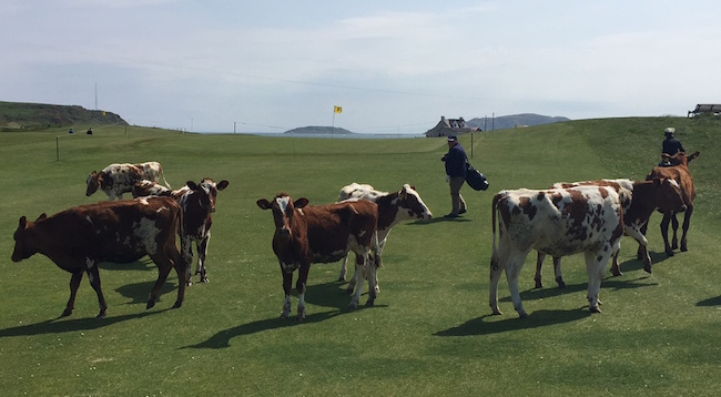 Playing Through --  The coos yield, begrudgingly, to our progress at Dunaverty, a one-off of a course in Southend -- not far from Machrihanish.