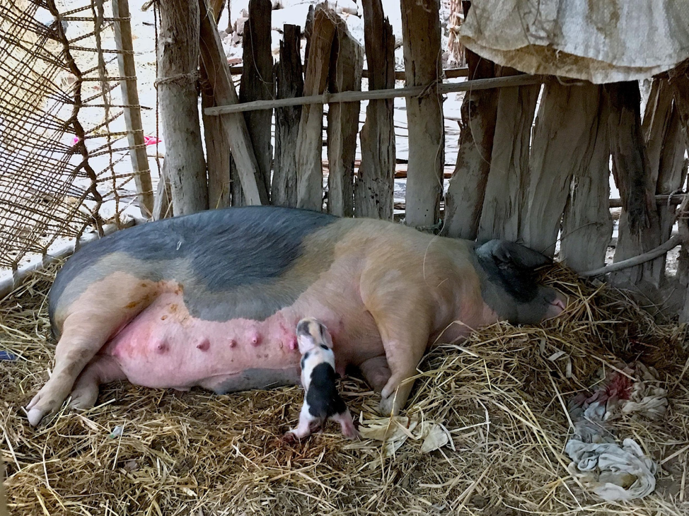 The newly born piglet, suckling its mother who is still in labour