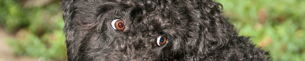 Eyes of black labradoodle dog