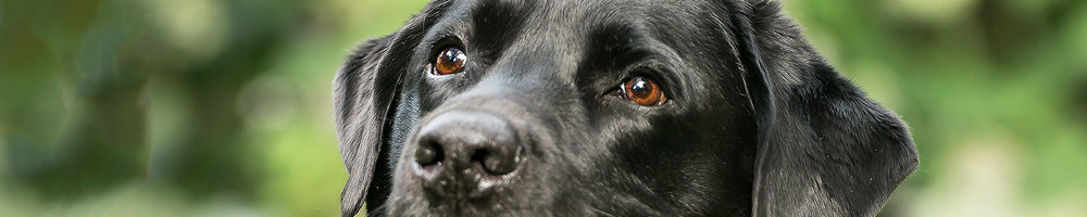 Eyes of black labrador dog