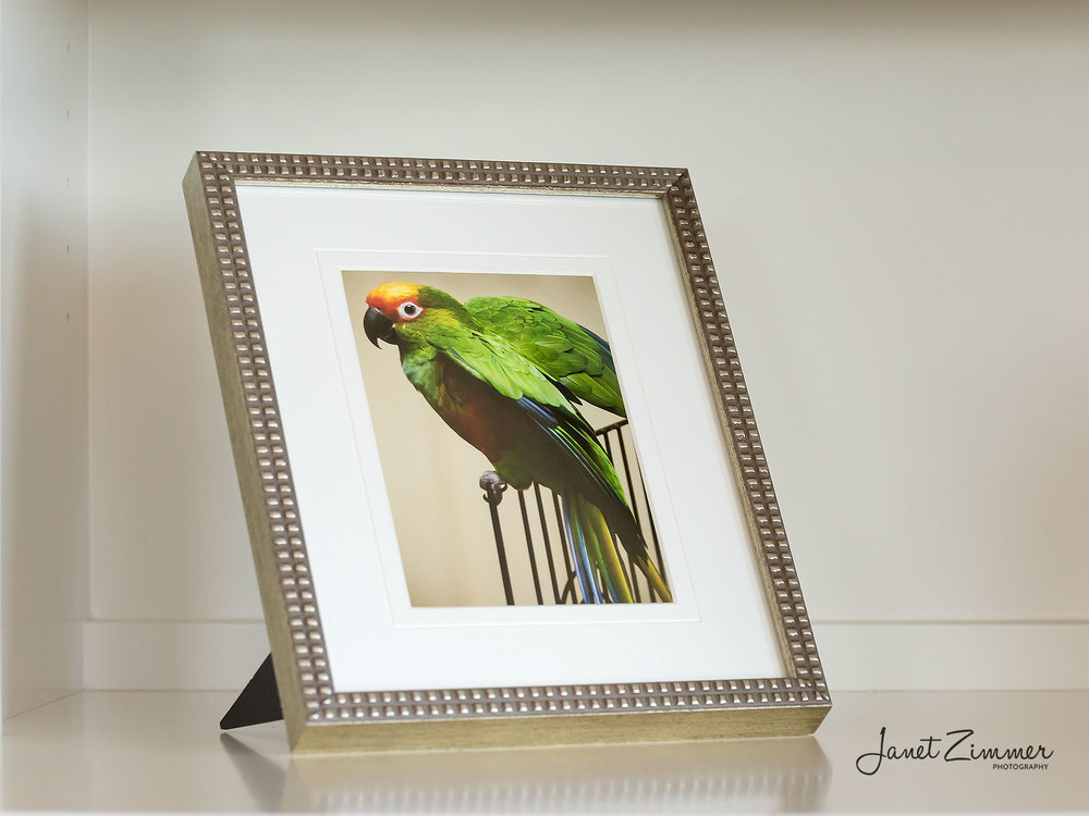 Framed Desk Print of Parrot