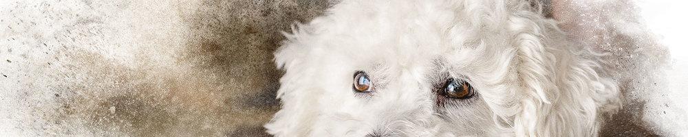 Eyes-of-Small-White-Dog