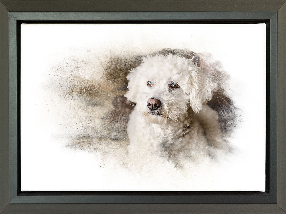 Float framed wall canvas of bichon frise dog