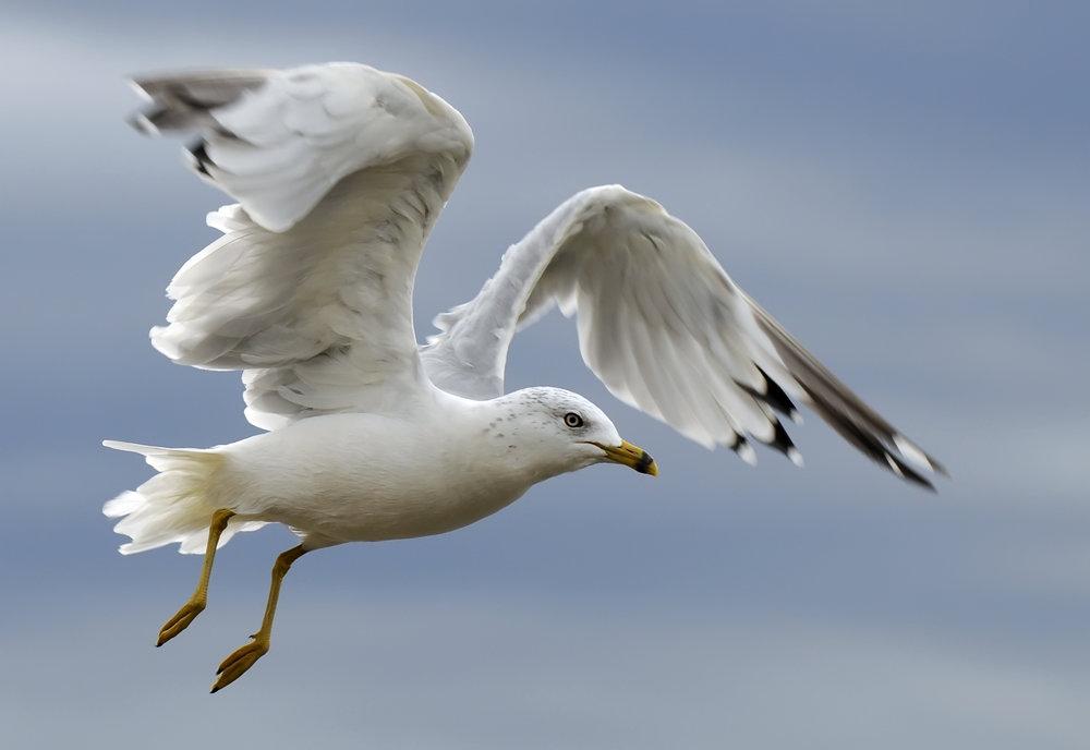gull1.jpg
