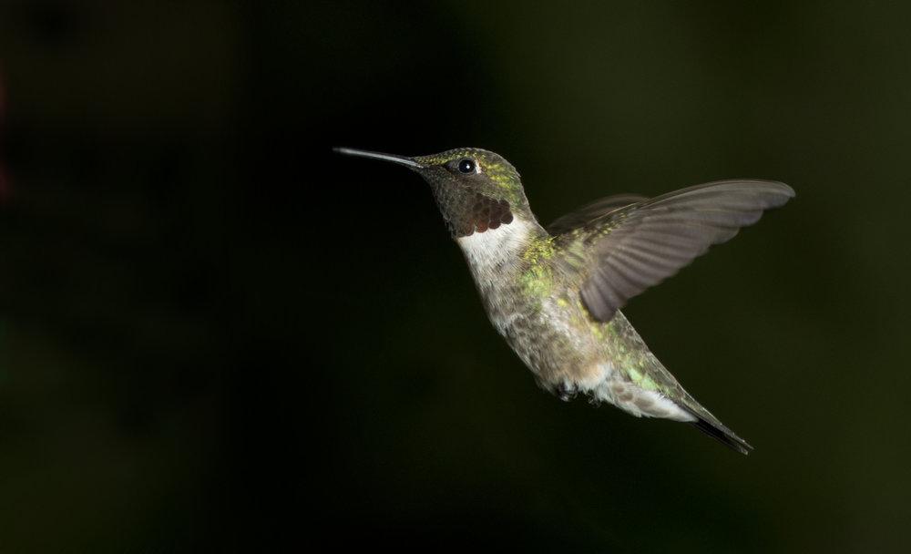 Hummingbird_0576.jpg