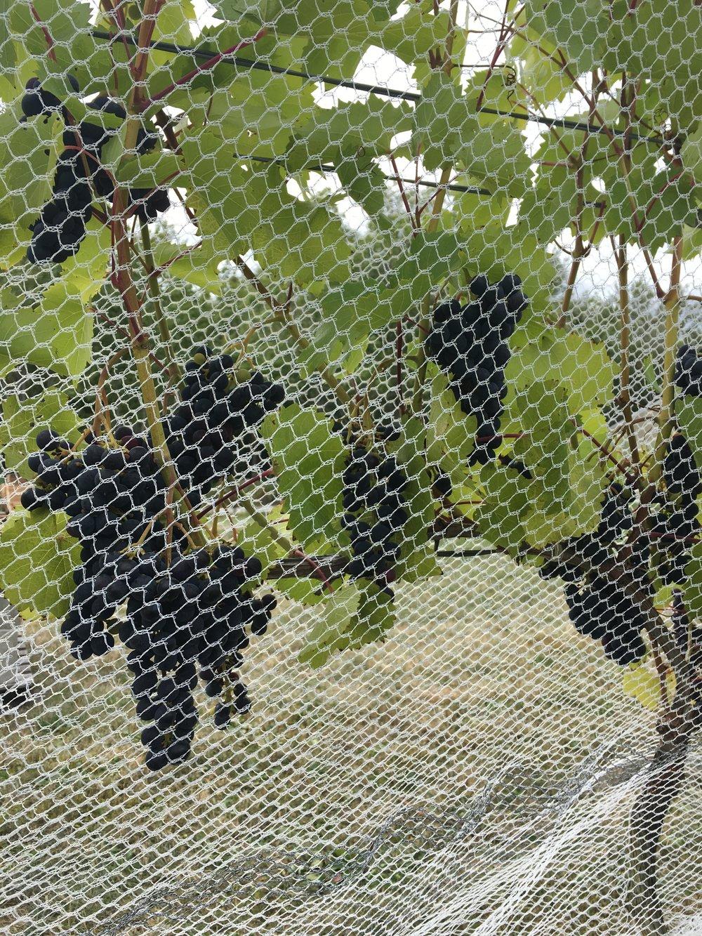 grapes grown at the vineyard