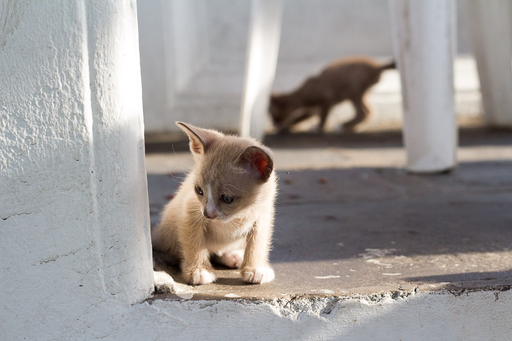 Kittens at Wat Arun