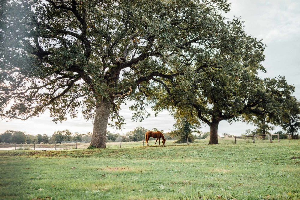 A horse grazes in the field.