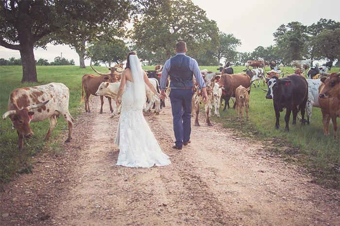 A bride and groom stay grounded on their wedding day, walking along the dirt road on StarHill Farms to a captivated audenice of cattle. <3