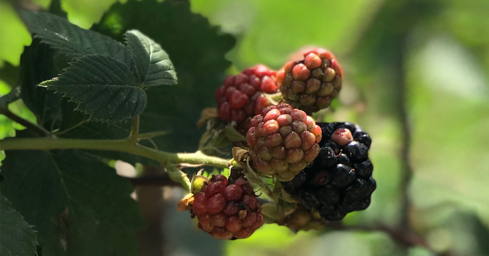 Blackberries growing on the vine at StarHill Farms