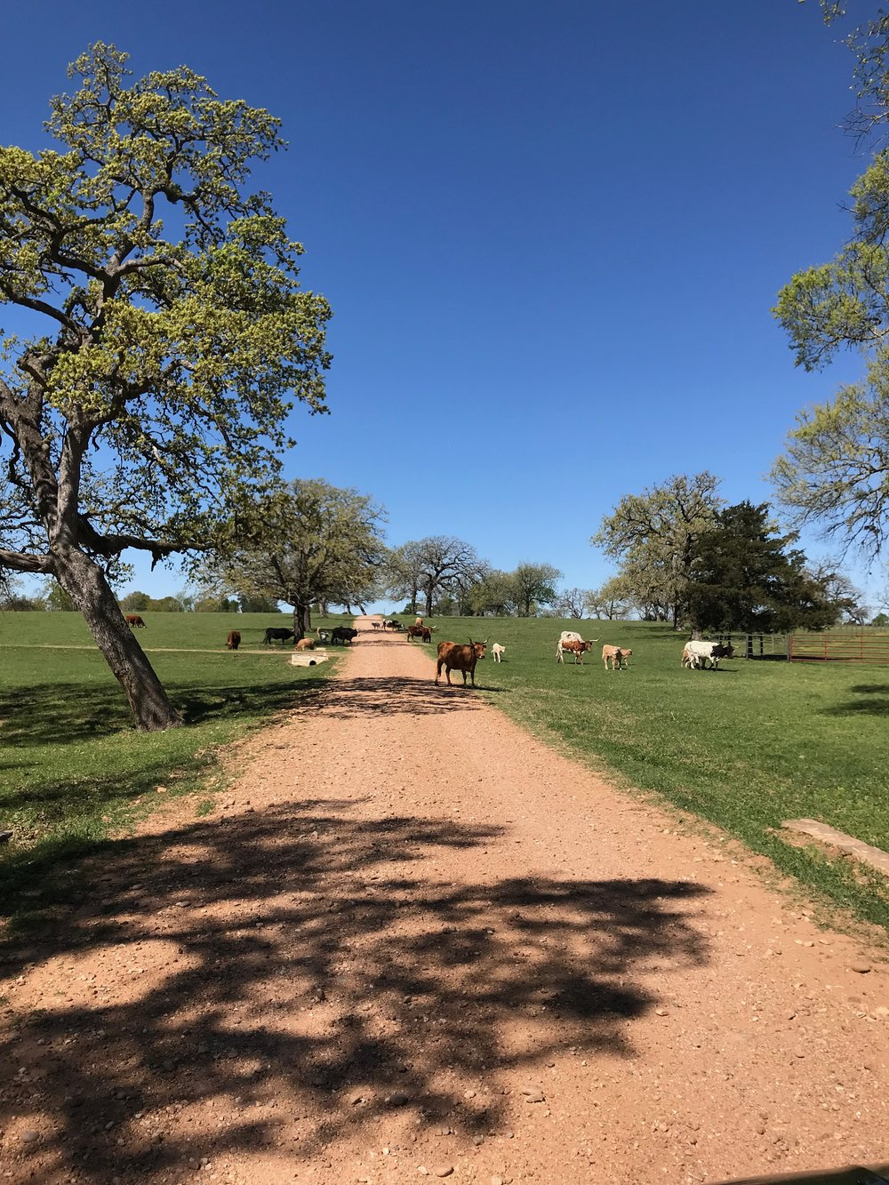 Cows wander around StarHill Farms.