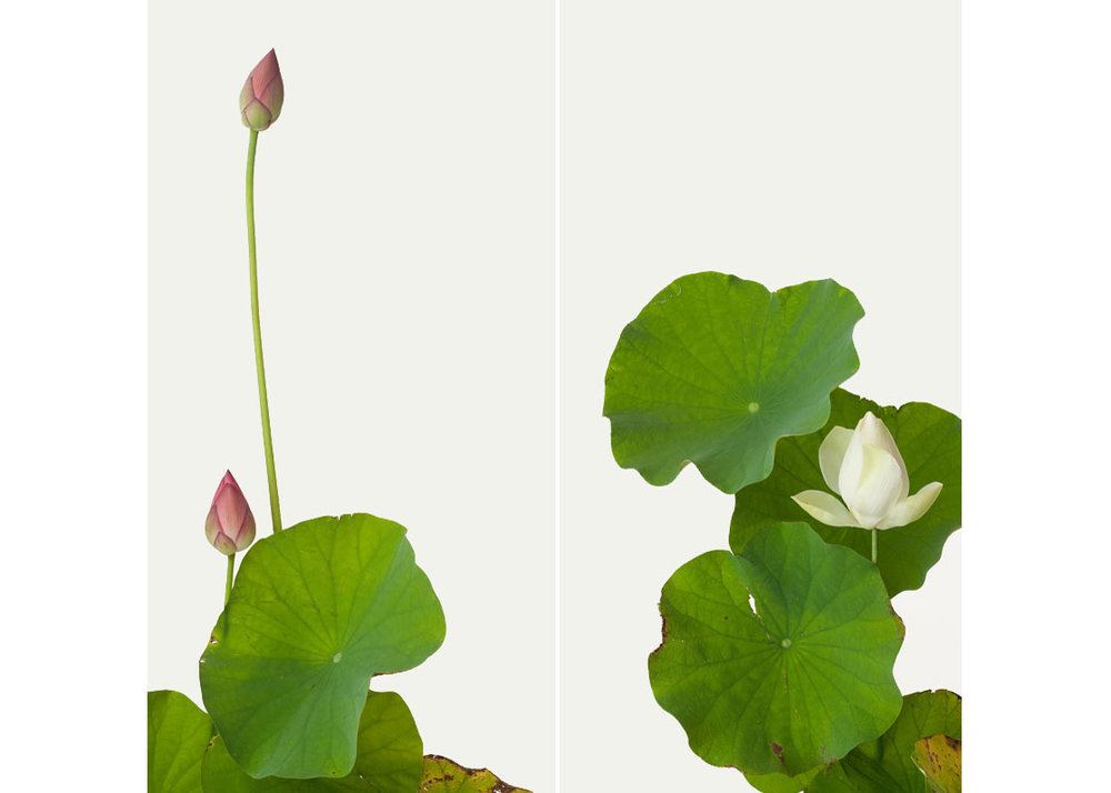©  Ippodo Gallery , Lotus, Photography by Takashi Tomo-oka