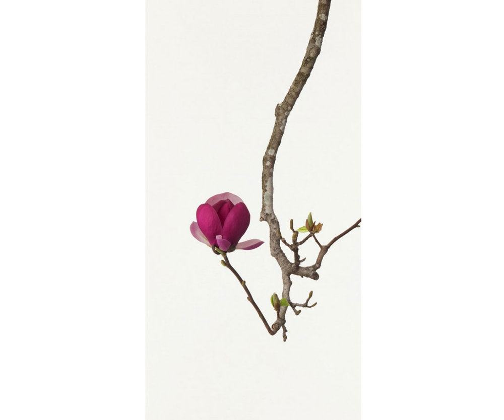 ©  Ippodo Gallery , Magnolia, Photography by Takashi Tomo-oka