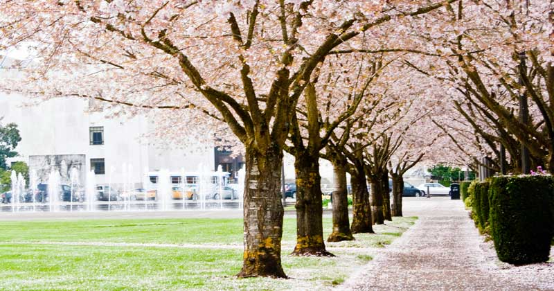 Related: Where to See Cherry Blossoms in the US: The Complete List -
