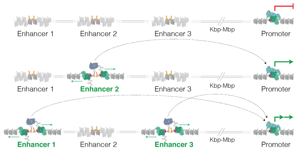 Enhancer dependent gene regulation   Enhancers are fundamental regulators of gene expression that operate far away from gene promoters, looping to contact their target genes. Different patterns of enhancer usage allow fine control of tissue and stimulus-specific gene expression patterns.