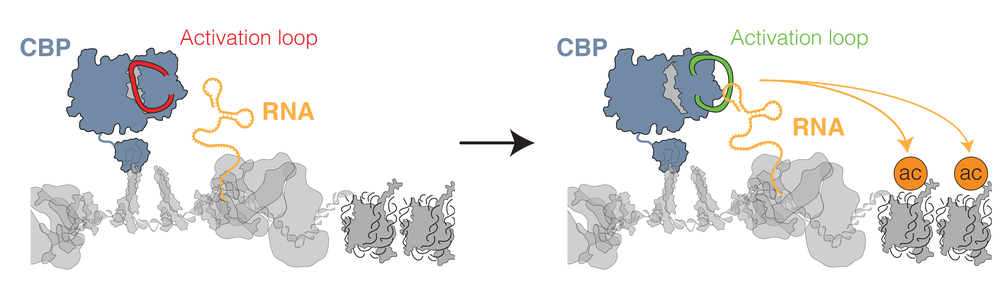 eRNA stimulates CBP activity.   Our work demonstrated that eRNAs bind to a regulatory region within the catalytic acetyltransferase domain of the key transcription co-activator CBP. By displacing this region from the active site of the enzyme, eRNAs could stimulate the acetyltransferase activity and promote histone acetylation and transcription.