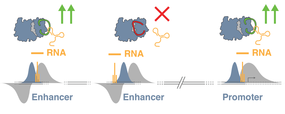 How do eRNAs affect enhancer activity?   As the sequence and structure of eRNAs differs between enhancers, they are prime candidates to drive alternative profiles of enhancer activity to control gene expression.