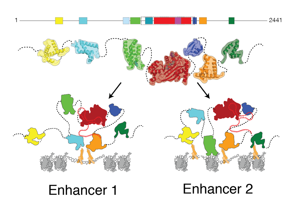 How do eRNAs contribute to enzyme organization at enhancers?   The flexible structures of epigenetic enzymes such as CBP allows them to adopt different conformations. We are investigating whether eRNA binding contributes to these distinct arrangements to promote engagement of the enzymes with chromatin at different enhancer regions