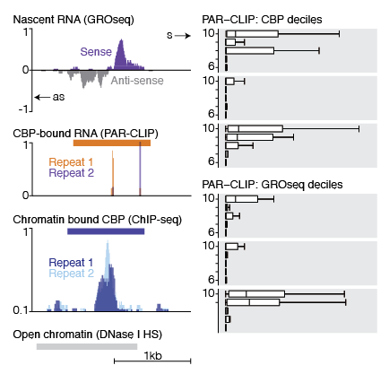 CBP binds to eRNAs at enhancers.    Left) UCSC genome browser view of CBP-bound eRNAs. Top; GROseq signal showing bi-directional eRNA transcription; Middle; CBP-bound RNAs from PAR-CLIP data; Bottom; Chromatin-bound CBP from ChIP-seq data.    Right) CBP bound RNAs are enriched at transcribed enhancers: Top; Enrichment for CBP-bound RNAs (PAR-CLIP signal) at sites of CBP chromatin-binding (10th decile = most enriched for CBP); Bottom; Enrichment for CBP-bound RNAs (PAR-CLIP signal) at sites of nascent RNA transcription (GROseq signal, 10th decile = most enriched for nascent RNA).