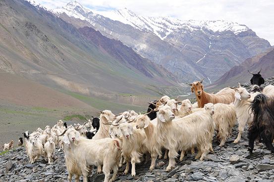Cashmere-goat-Himalaya-Himachal-Pradesh-India.jpg