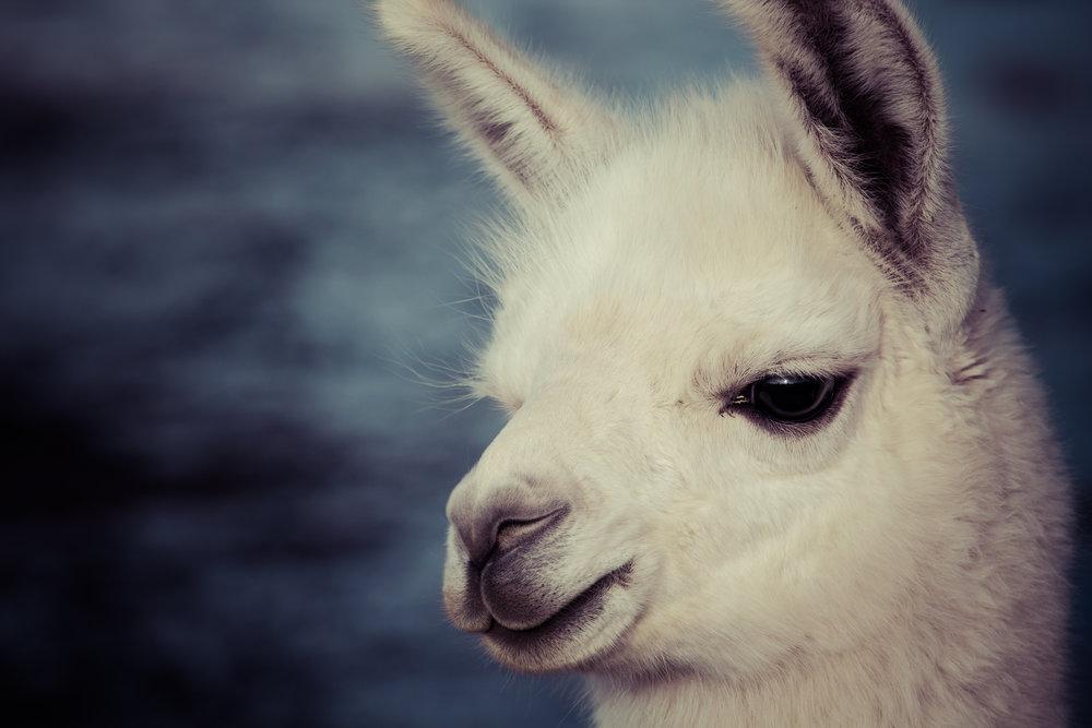 Llama_1.jpg