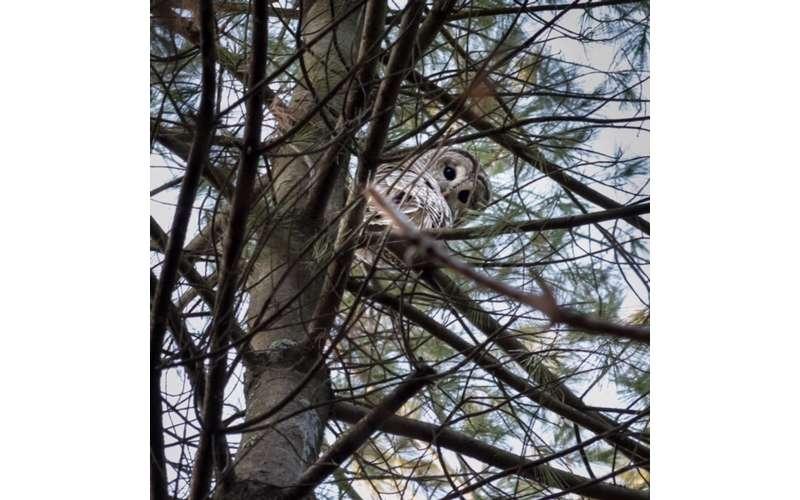 Barred-Owl-by-Eric-Avery-JPG-display2.JPG