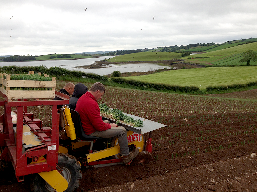 Leek Planting over Ballymorran Bay,