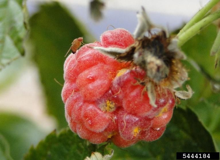 Spotted wing drosophila on raspberry. Photo by Hannah Burrack, North Carolina State University, Bugwood.org.