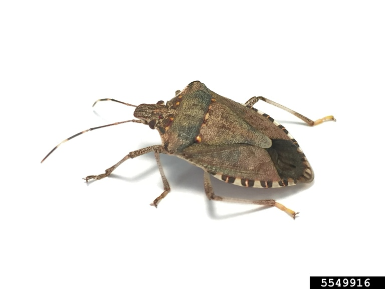 Brown marmorated stink bug. Photo by Kristie Graham, USDA ARS, Bugwood.org.