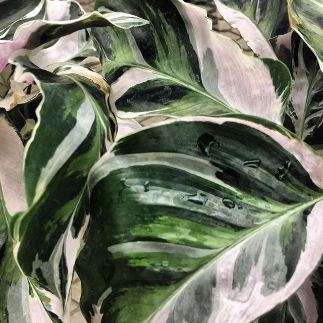 Spotted during yesterday's visit to my happy place, @stanleysgreenhouse. They look so much like they were painted, don't they? - - - - - - - - - - - - - - - - - - - - - - - - - - - #visualart #visualgang #visualsoflife #striking #art #plants #beautiful #beautifulplanet #botanical #greenhouse #happyplace #leaves #green #texture #textureporn #plantporn #textures #plantlove #greenery