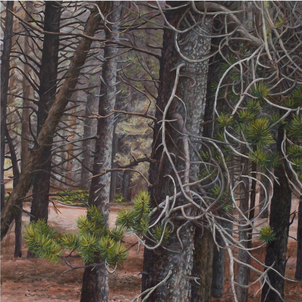 "Lodgepole series #1: Oil on linen canvas over panel 30"" x 30"" 2012"