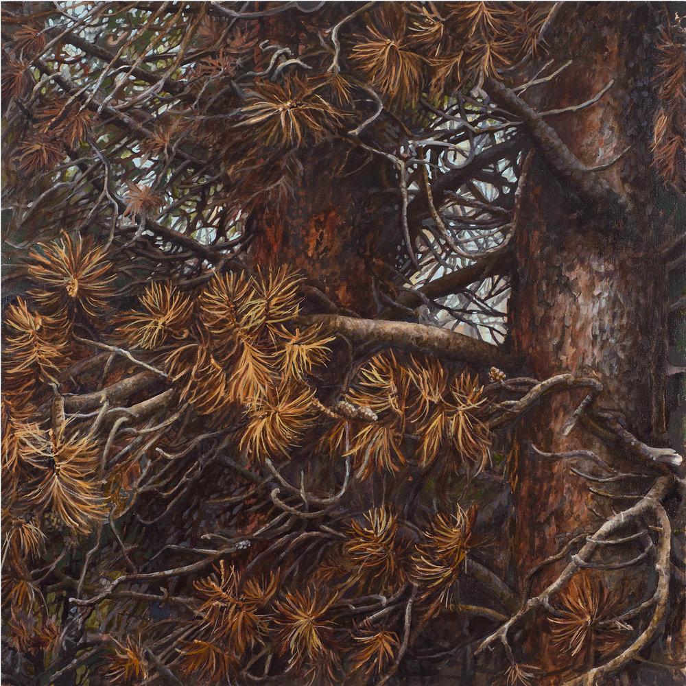 """Lodgepole series #3: Oil on panel 30"""" x 30"""" 2013"""