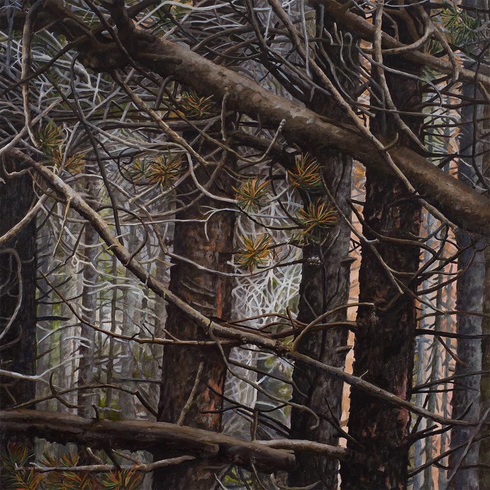 """Lodgepole series #4: Oil on panel 30"""" x 30"""" 2013"""
