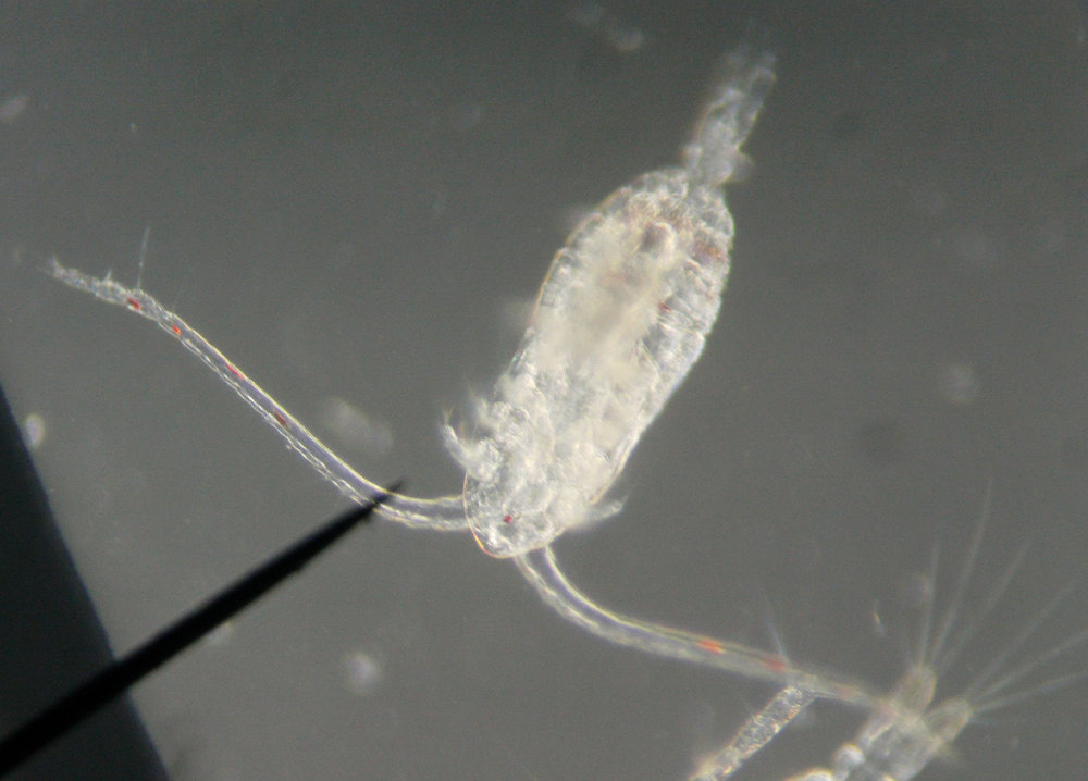 "Copepods (meaning ""oar-feet"") are crustaceans found in nearly every water sample OSO students investigate."