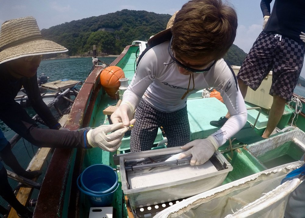 Outfitting a baby bluefin tuna with an electronic tag in Japan.