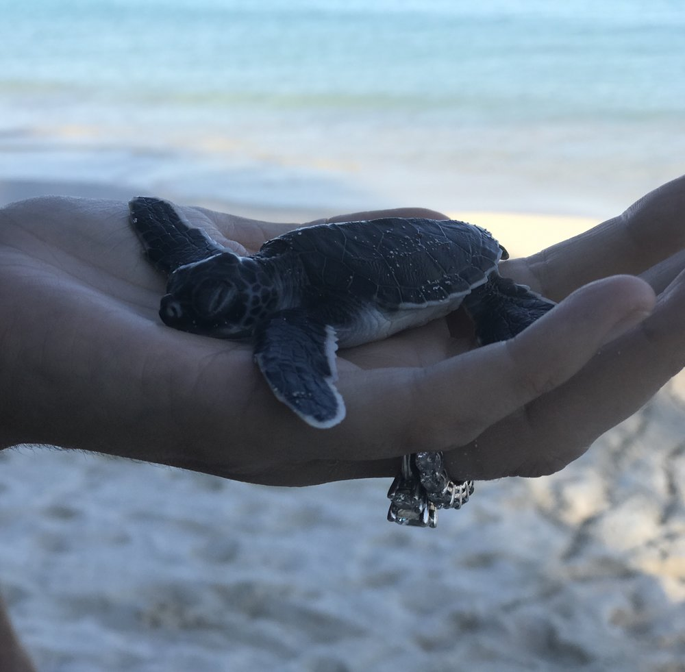 Important Note: This little guy was injured during the initial hatch and was rehabilitated by professionals prior to release.  If you are ever around a turtle hatching do not touch the turtles. If you observe one that is injured contact the wildlife authorities in your respective jurisdiction.