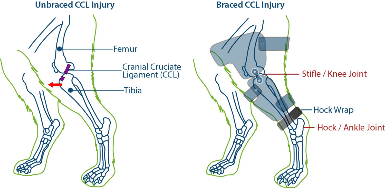 cranial cruciate ligament ccl tears in dogs and bracing pawopedic