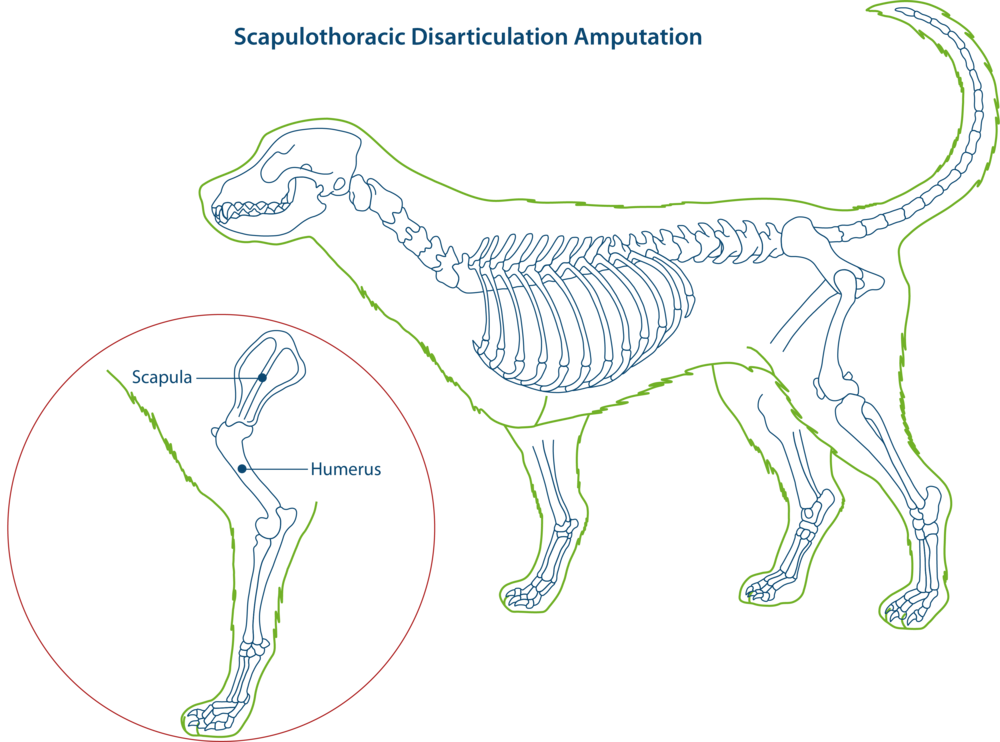 Scapulothoracic disarticulation amputation in dogs