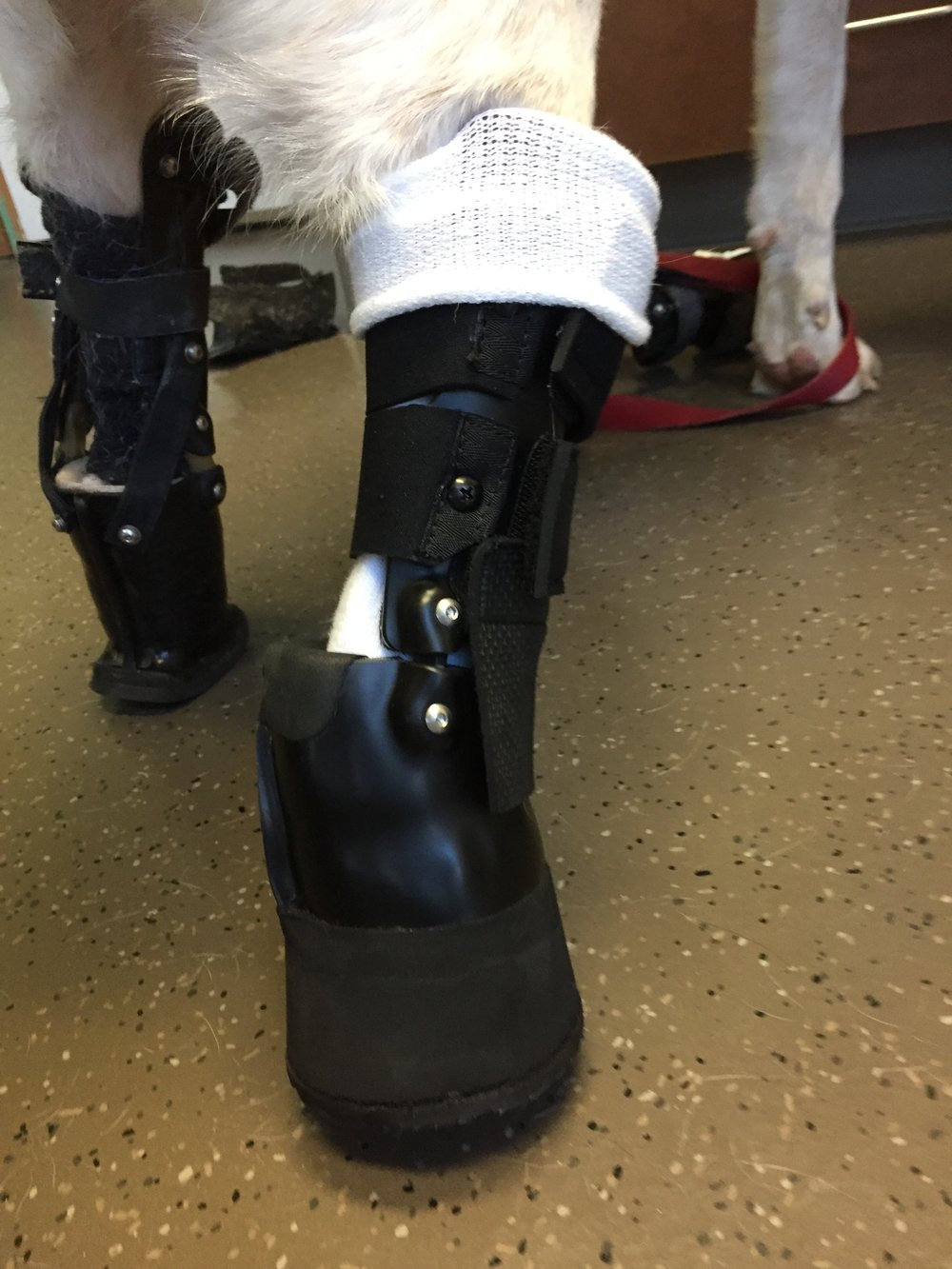 Canine Tarsal Level Prosthesis
