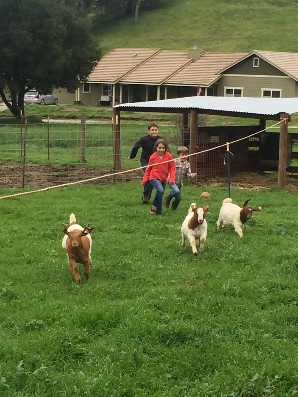 The Garrett kids enjoying the fresh air and green grass while they exercise their goats