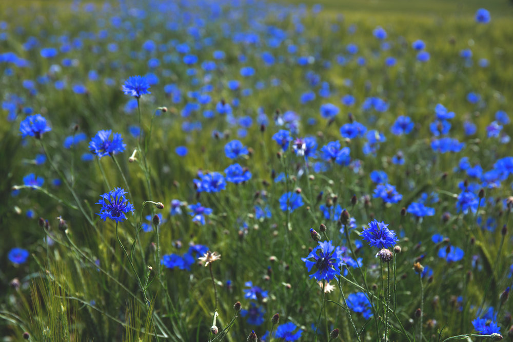 field_of_cornflowers_2.jpg