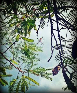 Banana Spider high up in a tree